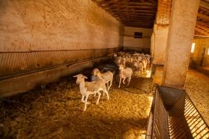 Manchego Cheese _ Manchega Sheep